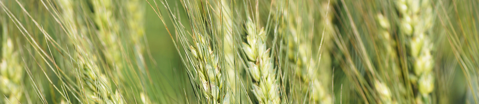 Green-wheat